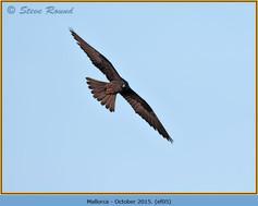 eleonoras-falcon-05.jpg