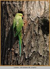 ring-necked-parakeet-03.jpg