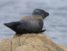 common-seal-03.jpg