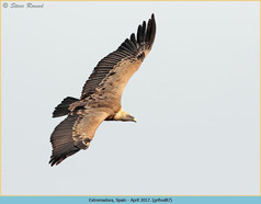 griffon-vulture-87.jpg