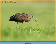 glossy-ibis-04.jpg