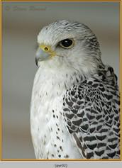 gyr-falcon-02c.jpg
