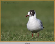 black-headed-gull-63.jpg