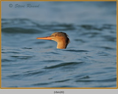 red-breasted-merganser-20.jpg