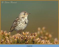 meadow-pipit-36.jpg