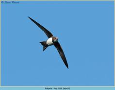 alpine-swift-20.jpg