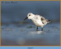 sanderling-57.jpg