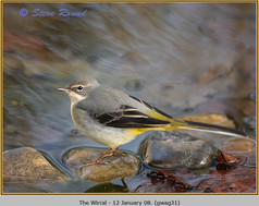 grey-wagtail-31.jpg