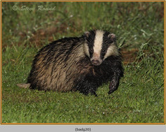 badger-20.jpg
