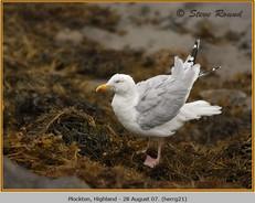herring-gull-21.jpg