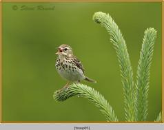 tree-pipit-05.jpg