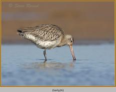 bar-tailed-godwit-26.jpg
