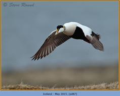 eider-duck- 87.jpg