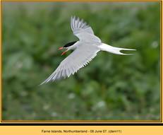 common-tern-11.jpg