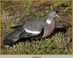 wood-pigeon-25.jpg