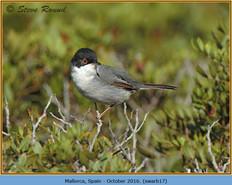 sardinian-warbler-17.jpg