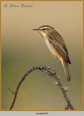 sedge-warbler-44.jpg