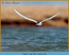 arctic-tern-45.jpg