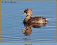 little-grebe-21.jpg