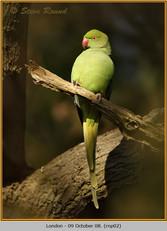 ring-necked-parakeet-02.jpg