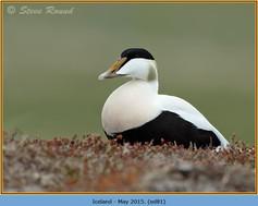 eider-duck- 81.jpg