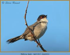 sardinian-warbler-21.jpg