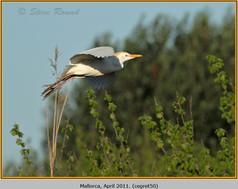cattle-egret-50.jpg