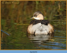 little-grebe-04.jpg