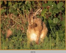 brown-hare-74.jpg