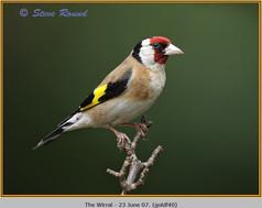 goldfinch-40.jpg