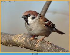 tree-sparrow-59.jpg