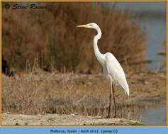 great-white-egret-31.jpg