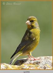 greenfinch-50.jpg