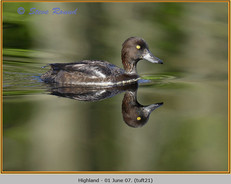 tufted-duck-21.jpg