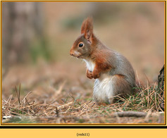 red-squirrel-11.jpg