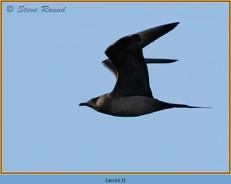 arctic-skua-13.jpg