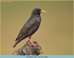 spotless-starling-04.jpg