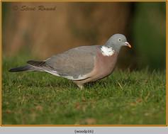 wood-pigeon-16.jpg