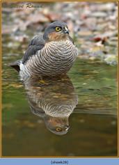 sparrowhawk-28.jpg