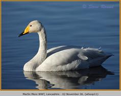 whooper-swan-11.jpg