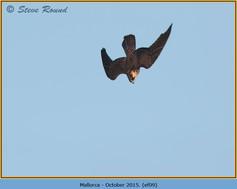 eleonoras-falcon-09.jpg