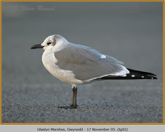 laughing-gull-02.jpg