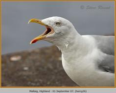 herring-gull-26.jpg