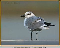 laughing-gull-01.jpg