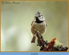 crested-tit-19.jpg