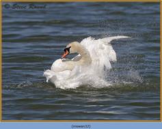 mute-swan-32.jpg