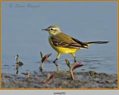 yellow-wagtail-20.jpg