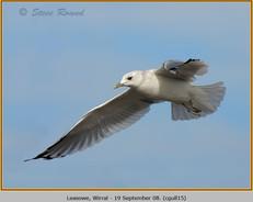 common-gull-15.jpg