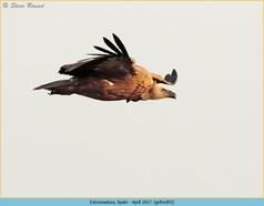griffon-vulture-93.jpg