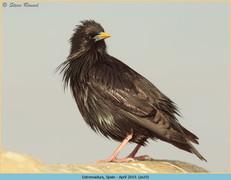 spotless-starling-19.jpg